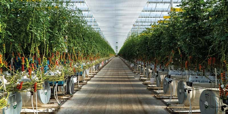 Tomatoes ultra-clima greenhouse