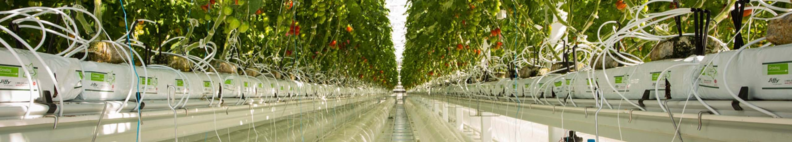 Ultra Clima Greenhouse tomatoes